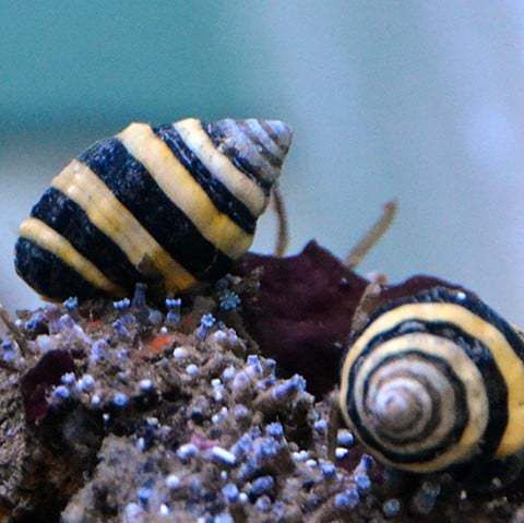 Bumble Bee Snail Engina Sp Snail Bee Bumble Bee