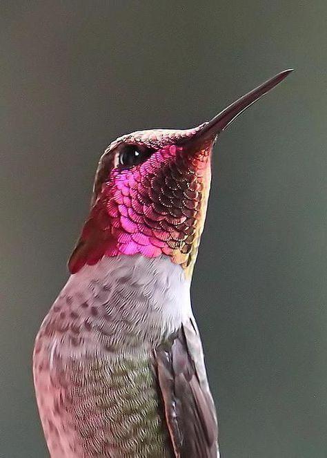 Colibri Con Armadura De Vino Hummingbird With Wine Armor Aves De