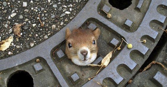 Fotografia divulgada nesta segunda-feira pela polícia de Isenhagen, na Alemanha, mostra um esquilo que foi encontrado preso em um bueiro, no domingo (5). O animal foi resgatado e passa bem