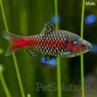 Odessa barb scientific name puntius sp ease of care for Semi aggressive fish