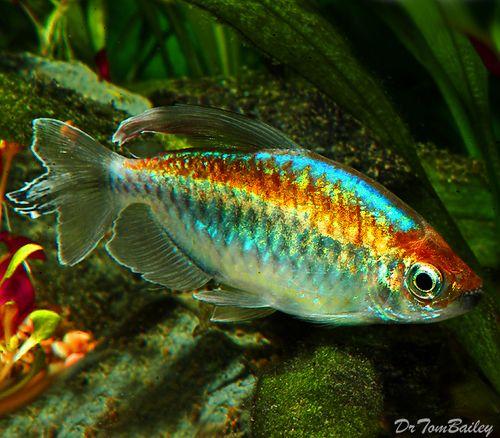 Premium Congo Tetra 1 To 1 5 Long Tetra Fish Aquarium Fish Freshwater Aquarium Fish