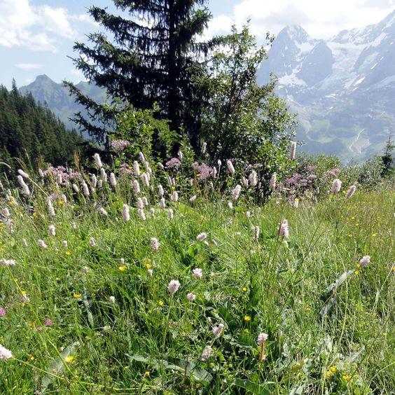Der Schlangen-Knöterich (Bistorta officinalis) ist die perfekte Bereicherung für  feuchte Blumenwiesen.