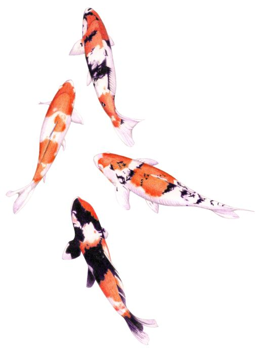Floating koi colored pencil mariana musa colored for How much is a koi fish