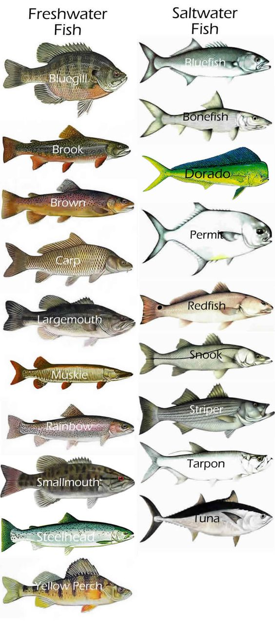 gamefish chart fresh saltwater fish fishing on kayaks