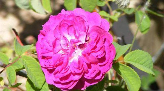 Localizan en Banyeres una de las rosas más antiguas de Europa