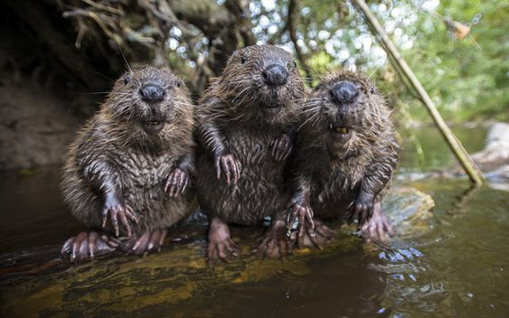 A husband and wife photography team, Bettina and Christian Kutschenreiter. are now so friendly with a family of wild beavers they let them take their portrait.: