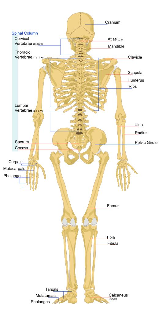 rear view of an adult human skeleton | biology the stuff of, Skeleton
