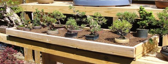 Keep mini bonsai pots in sand trays to prevent them from drying out. Let the roots grow into it. This way you won't have to water them any differently or more often than a regular bonsai.