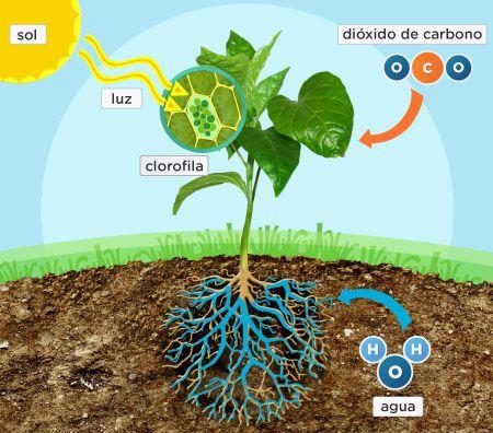 dibujos de la fotosintesis de las plantas: