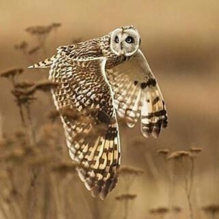 Beautiful owl great photo ..!!   @wildlife.hd - . Shoulder Check.  Photography by @ (Henrik Nilsson). A wild short eared owl completes a shoulder check in case something was missed. . #owl #owls #owllove