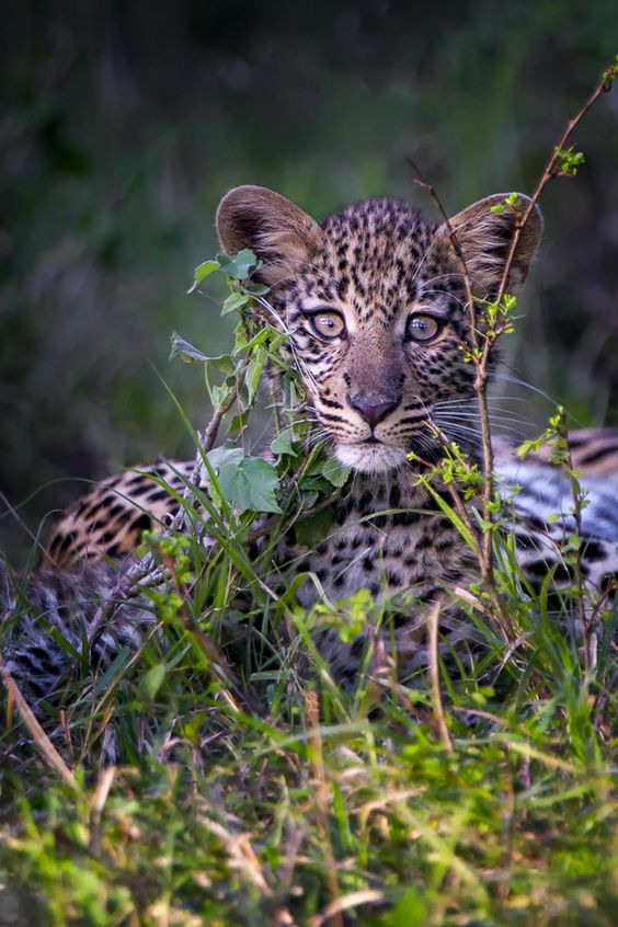 "beauty-rendezvous: ""Leopard Cub by Mario Moreno / 500px """