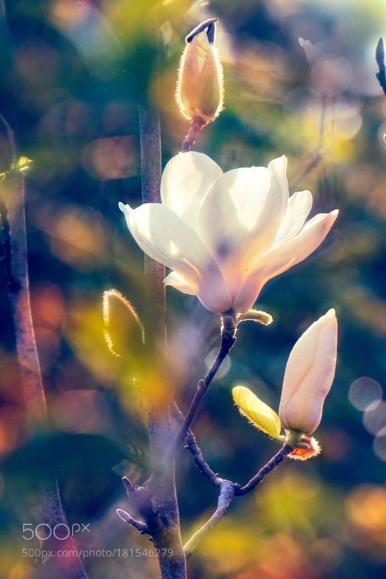 magnolia by LiudmilaD