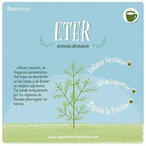 #eter este arbusto no es tan famoso, sin embargo es 100% efectivo para #regularlapresion y calmar estados #nerviosos :o #plantasmedicinales #plantas #ilustracion