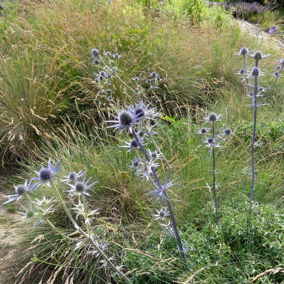 Bourgats Mannstreu (Eryngium bourgatii) entwickelt sich träge, ist dann in einer Schwingel-Steppe unschlagbar großartig.