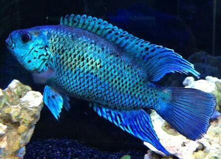 Electric blue jack dempsey cichlid | Bedroom fish tank ...