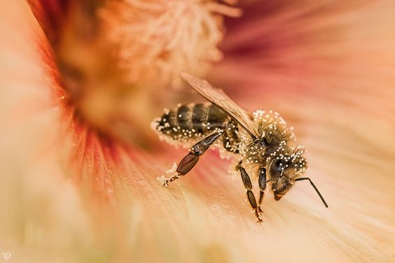 Hard Working Bee by Remo Primatesta