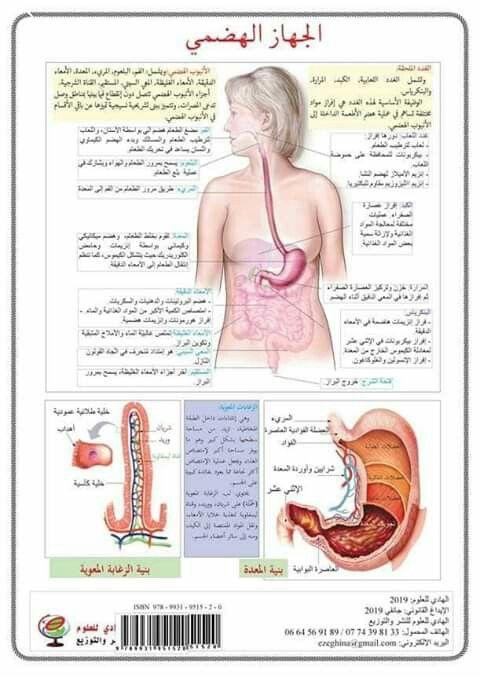 الجهاز الهضمي Teach Arabic Homeschool Biology