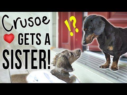 Ep 1 Crusoe Gets A Sister Cute Dachshund Puppy Video