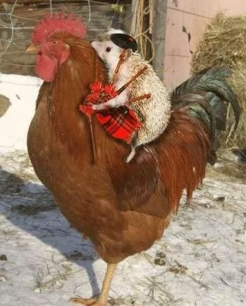 """""""baby hedgehog, baby hedgehog; riding on a chicken,baby hedgehog."""" (Just a few of my favorite things all together...):"""