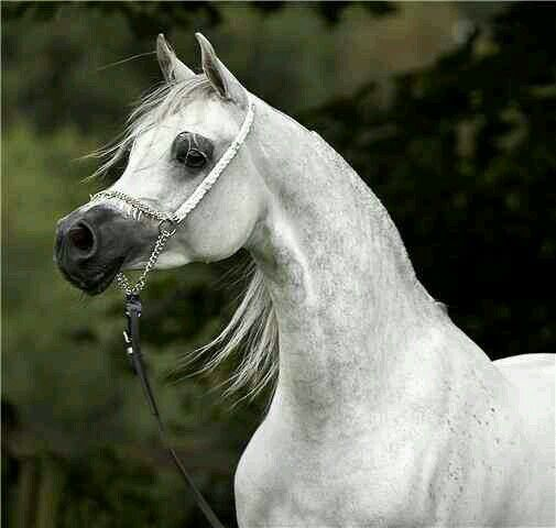 Stallion horse arabian
