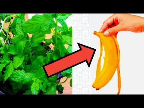 قشر الموز هو سر نجاح زراعة النعناع في المنزل تجربتي الناجحه Youtube Green Art Plants Green