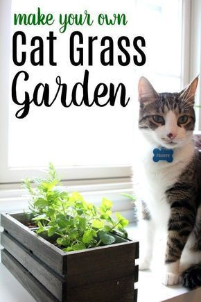 Does Your Cat Eat Grass Outside Is Your Cat Trying To Eat Plants Inside Your Home That Aren T Safe Make Your Own Cat Gra In 2020 Cat Grass Cat Safe Plants