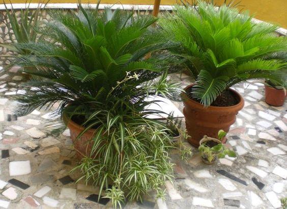 Tipos de palmas cuidados de las palmeras plantas zona for Palmeras de interior