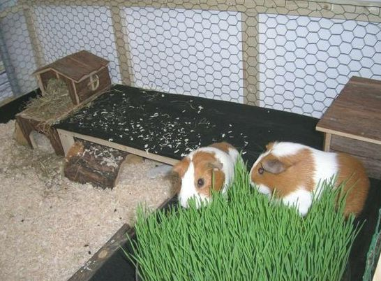 Pinterest the world s catalog of ideas for Simple guinea pig cage
