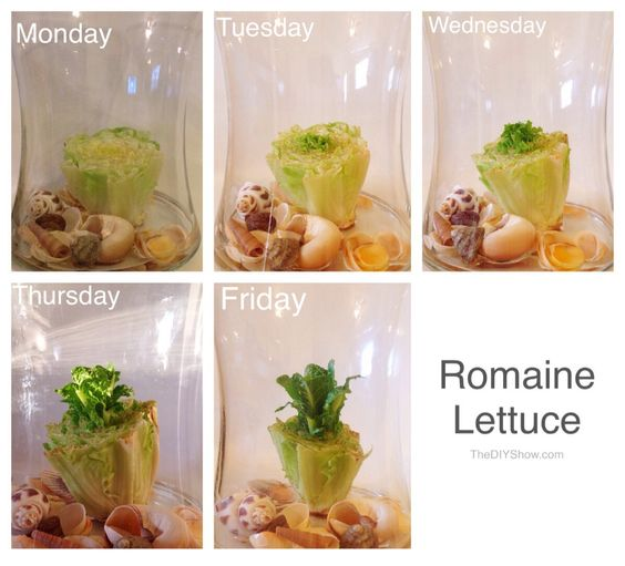 16 Foods That Will Re Grow From Kitchen Scraps: Regrow Romaine Lettuce In Water.