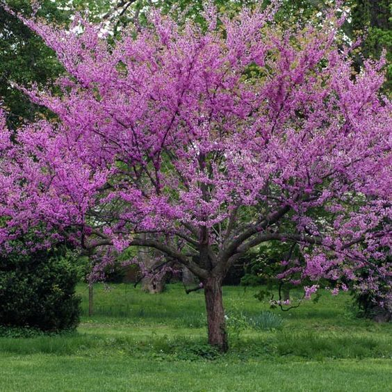 Tabebuia Impetiginosa T Palmeri Flowering Trees Pink Flowering Trees Deciduous Trees