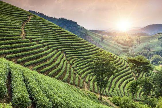 Plantações de Chá  China