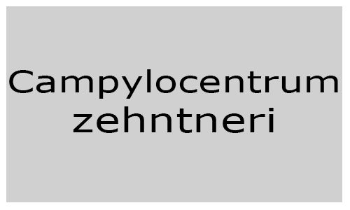 Campylocentrum zehntneri