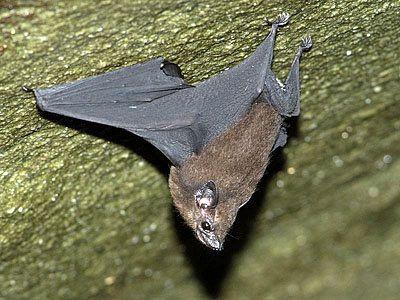 Lesser Sheath-tailed Bat - Emballonura monticola Photographed at Panti Forest Reserve, Johor, Peninsular Malaysia.