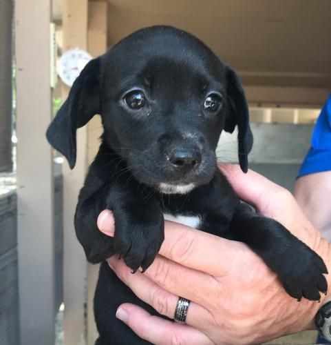 Freeport Fl Taki Is An Adoptable 6 Week Old Female Chihuahua