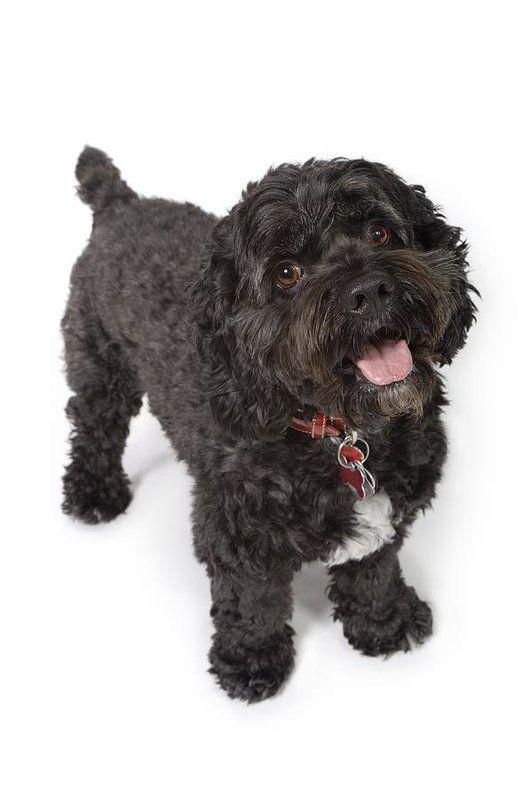 Black Bichon Cocker Spaniel Dog Art Print By Corey Hochachka In 2020 Cocker Spaniel Dog Spaniel Dog Dog Print Art