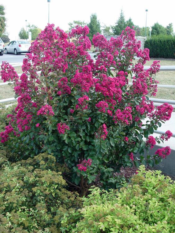 Crape myrtle tree or shrub low maintenance blooms all for Best low maintenance bushes