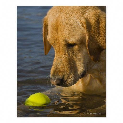 Yellow Labrador With A Tennis Ball In The Water Print Labradorbraun Labrador Retriever Labrador Retriever Dog Pembroke Welsh Corgi