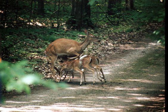 Deer with babies