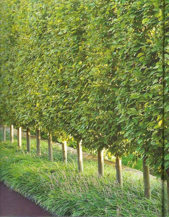 Privacy trees hornbeams pinteres for Planting trees landscaping