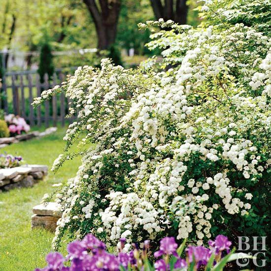 Spirea Flowering Shrubs Garden Shrubs Flowering Bushes