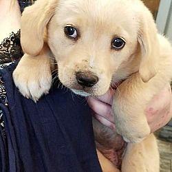 Potomac Md Labrador Retriever Meet Super Hero Pup Wonder Woman A Dog For Adoption Labradorretriever Labrador Retriever Labrador Kitten Adoption