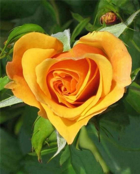 ROSES: Heart Shaped Yellow Rose of Texas. To both know and feel the correct answers when you Turbo Charge Read View. http://youtu.be/LyO3EkP1TdY