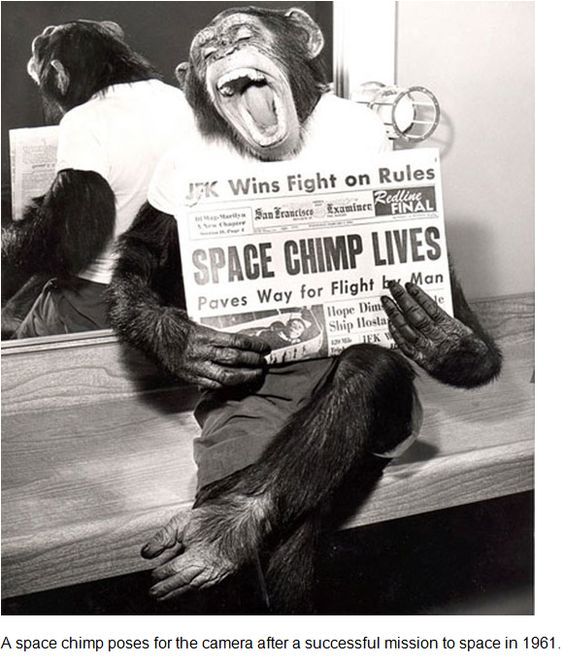 Space chimp poses for the camera after a sucessful mission to space in 1961.