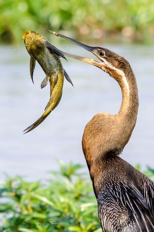 An African Darter Spears A Slippery Fish With Its Beak At Chobe River In Botswana By Sabine Stolz Wildlife Photogr Aquatic Birds Wildlife Photography Pet Birds
