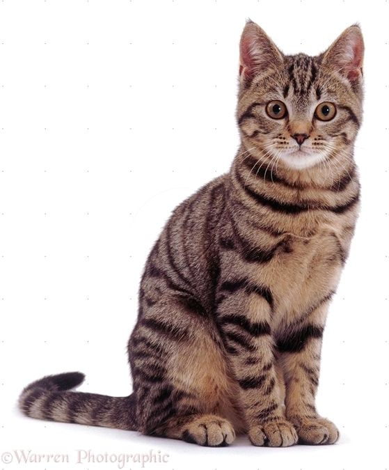 Agile Pictures Of Bengal Cat Breed Funny Animal Feline Tabby