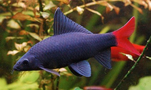 Redtail Shark Fish For Sale He Redtail Shark Also Known As The Redtail Black Shark Is Great For The Semi Aggressive Tropical Fish Freshwater Sharks Pet Fish