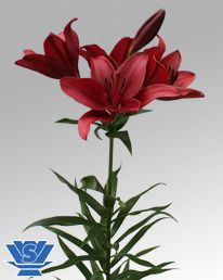 Lilium Red Rock