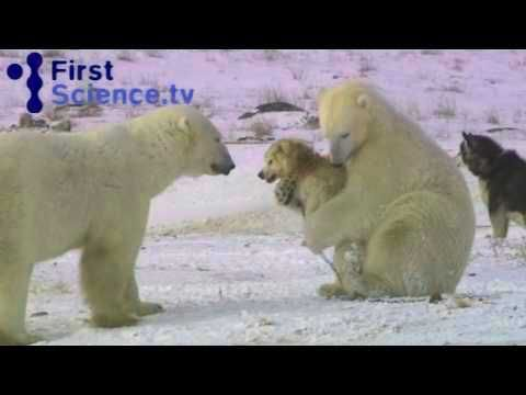 Did you know that dogs and polar bears can be friends?  - http://uciki.com/2014/11/25/know-dogs-polar-bears-can-friends/ - #Animals, #Cute, #Dogs