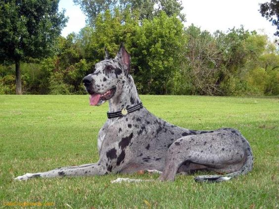 Great Dane. I had a friend who had 2. The first time I came to his house I sat on the couch and both of them tried to get in my lap. Very affectionate dogs.