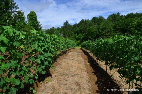 Luffa vines in the summer.